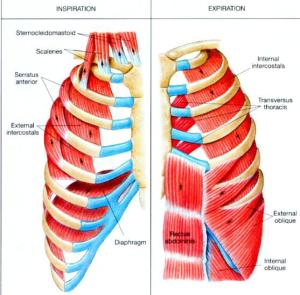 respiratory_muscles