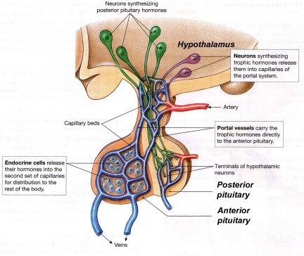 hypothalamus.pituitary